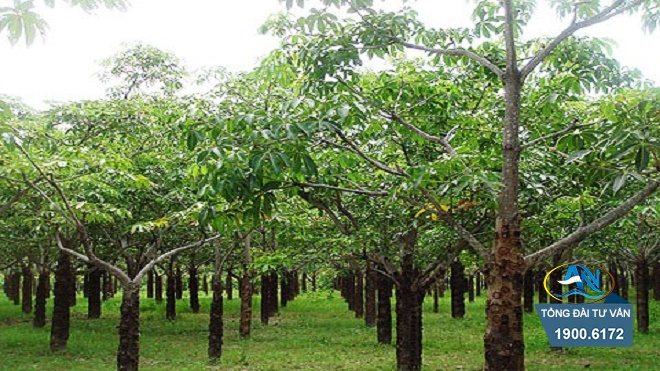 nhận thừa kế đất trồng cây lâu năm
